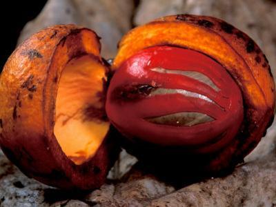 Fruit of Wild Nutmeg, Barro Colorado Island, Panama by Christian Ziegler