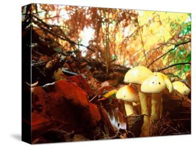 Mushrooms Growing Among Autumn Leaves, Jasmund National Park, Island of Ruegen, Germany
