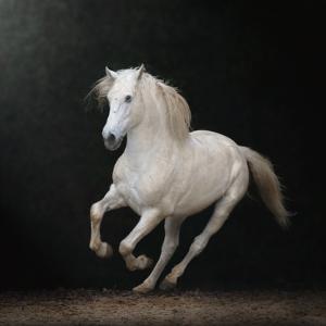 White Horse Galloping by Christiana Stawski