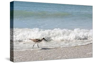 Sandpiper Shore Bird Walking in Ocean on Beach