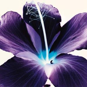 Plum Hibiscus by Christine Caldwell