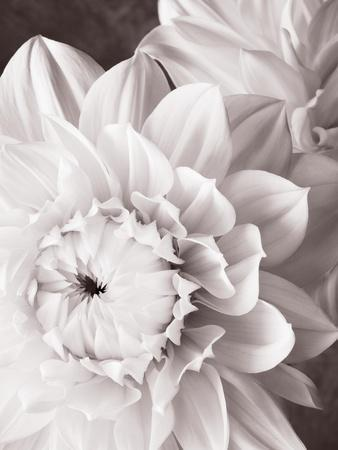 Black and White Dahlias I
