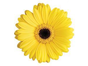Yellow Gerbera by Christine Zalewski