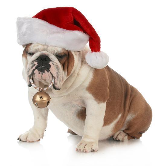 Christmas Dog - English Bulldog Wearing Santa Hat Holding Christmas Bell'  Photographic Print - Willee Cole   Art.com