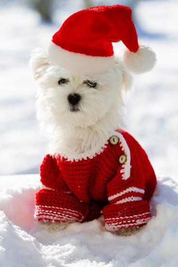 Christmas Puppy, Winter - Portrait of Maltese Puppy in Santa Hat Sitting in Snow-Gorilla-Photographic Print
