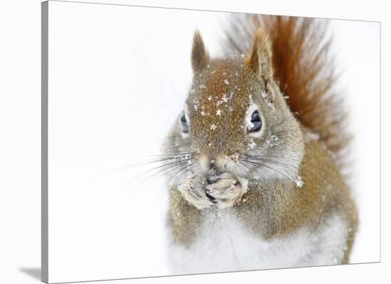 Christmas Squirrel-Mircea Costina-Stretched Canvas Print