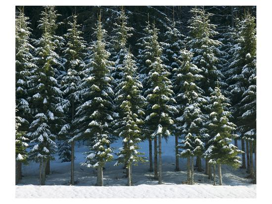 Christmas Trees Covered in Snow--Art Print