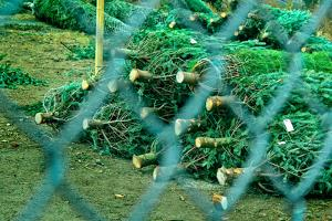Christmas Trees Through Fence