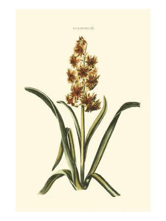 Antique Hyacinth IX