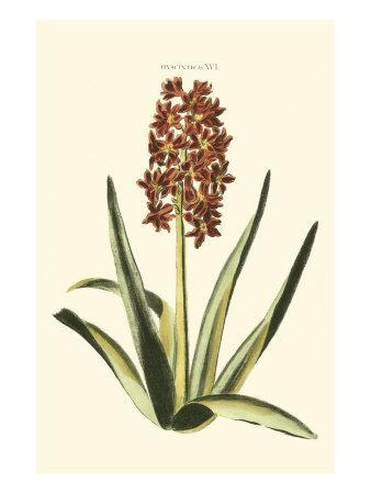 Antique Hyacinth XVI