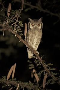 White Faced Scops Owl (Otus Leucotis) in a Candle-Pod Acacia (Acacia Hebeclada) at Night by Christophe Courteau