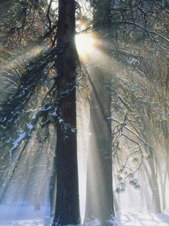 Sun Rays Streaming Through Snow Covered Trees, Yosemite National Park, California, USA