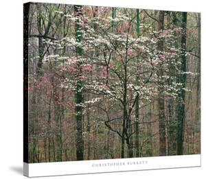 Pink and White Dogwoods, Kentucky by Christopher Burkett