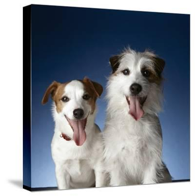 Two dogs sticking out their tongues