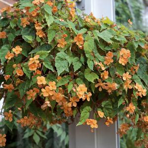 Begonia Sutherlandii Trailing Plant in Hanging Basket Conservatory by Christopher Fairweather