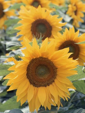 Helianthus, Sunflowers in Field