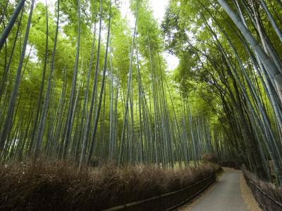 Path Leading Through Bamboo Forest Near Nonomiya-Jinja Shrine