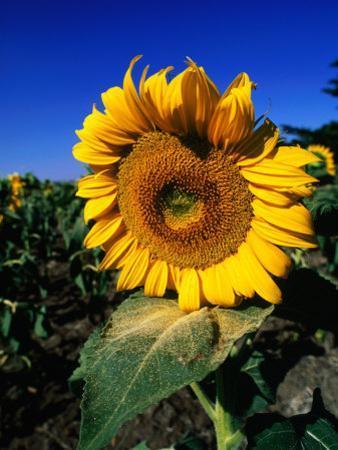 Sunflower Detail, Geelong, Victoria, Australia