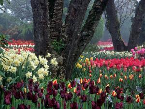 Tulips in Display Garden, Mt. Vernon, Laconner, WA by Christopher Jacobson
