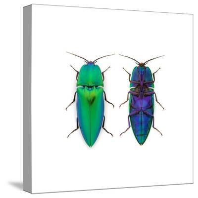 Borneo Click Beetle