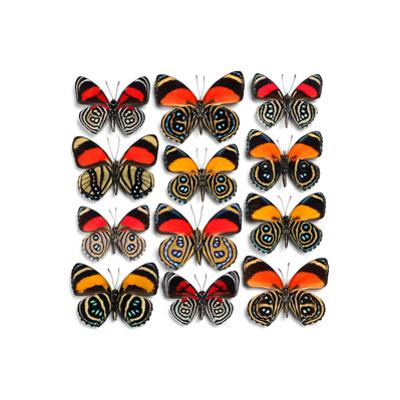 Callicore Butterflies by Christopher Marley