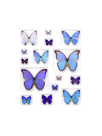 Cerulean Butterflies by Christopher Marley