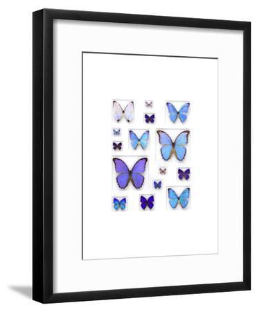 Cerulean Butterflies
