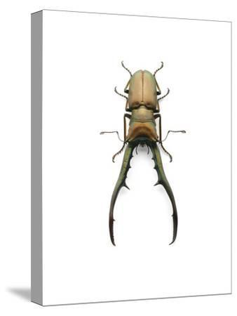 Finae Stag Beetle