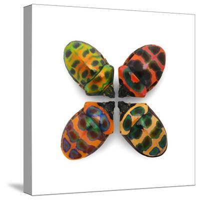 Four Shield Bugs