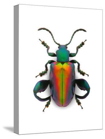 Frog Leg Beetle