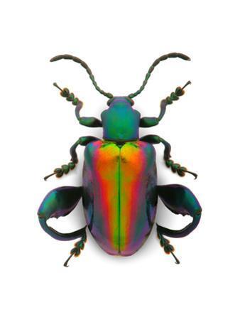 Frog Leg Beetle by Christopher Marley