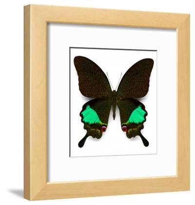 Karna Swallowtail