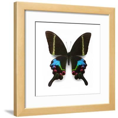 Krishna Swallowtail
