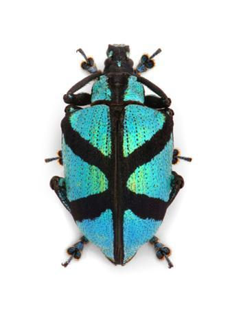 X Weevil by Christopher Marley
