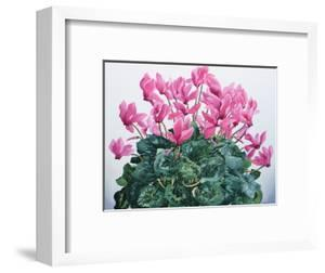 Cyclamen Portrait by Christopher Ryland