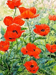 Garden Red Poppies by Christopher Ryland