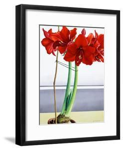 Red Amaryllis 2 by Christopher Ryland