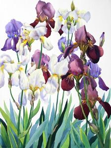 White and Purple Irises by Christopher Ryland