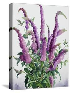 Wild Buddleia by Christopher Ryland
