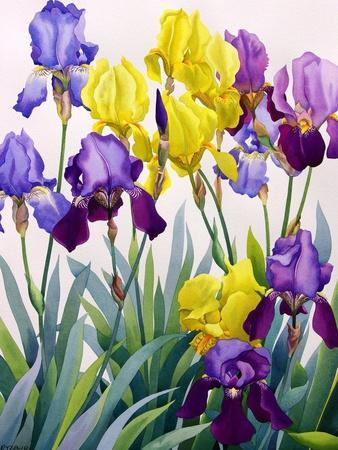 Yellow and Purple Irises