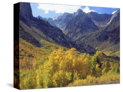 Aspen Trees in Autumn Color in the Mcgee Creek Area, Sierra Nevada Mountains, California, USA