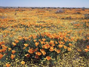 California, Antelope Valley, Field of California Poppy and Goldfields by Christopher Talbot Frank