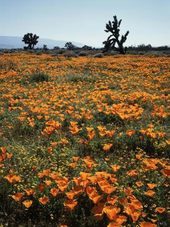 California, Antelope Valley, Joshua Trees and Wildflowers Cover a Hill by Christopher Talbot Frank