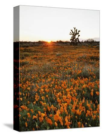 California, Antelope Valley, Sunrise Behind a Joshua Tree and Flowers