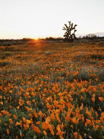 California, Antelope Valley, Sunrise Behind a Joshua Tree and Flowers by Christopher Talbot Frank