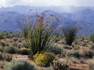 California, Anza Borrego Desert Sp, Brittlebush and Blooming Ocotillo by Christopher Talbot Frank