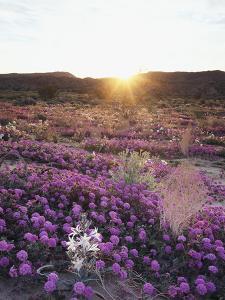 California, Anza Borrego Desert Sp, Desert Lily and Sand Verbena by Christopher Talbot Frank