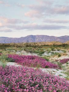 California, Anza Borrego Desert Sp, Sand Verbena in the Desert by Christopher Talbot Frank