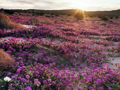 California, Anza Borrego Desert State Park, Desert Wildflowers