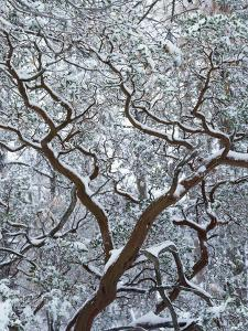 California, Cleveland Nf, Laguna Mountains, Snow Covered Manzanita by Christopher Talbot Frank